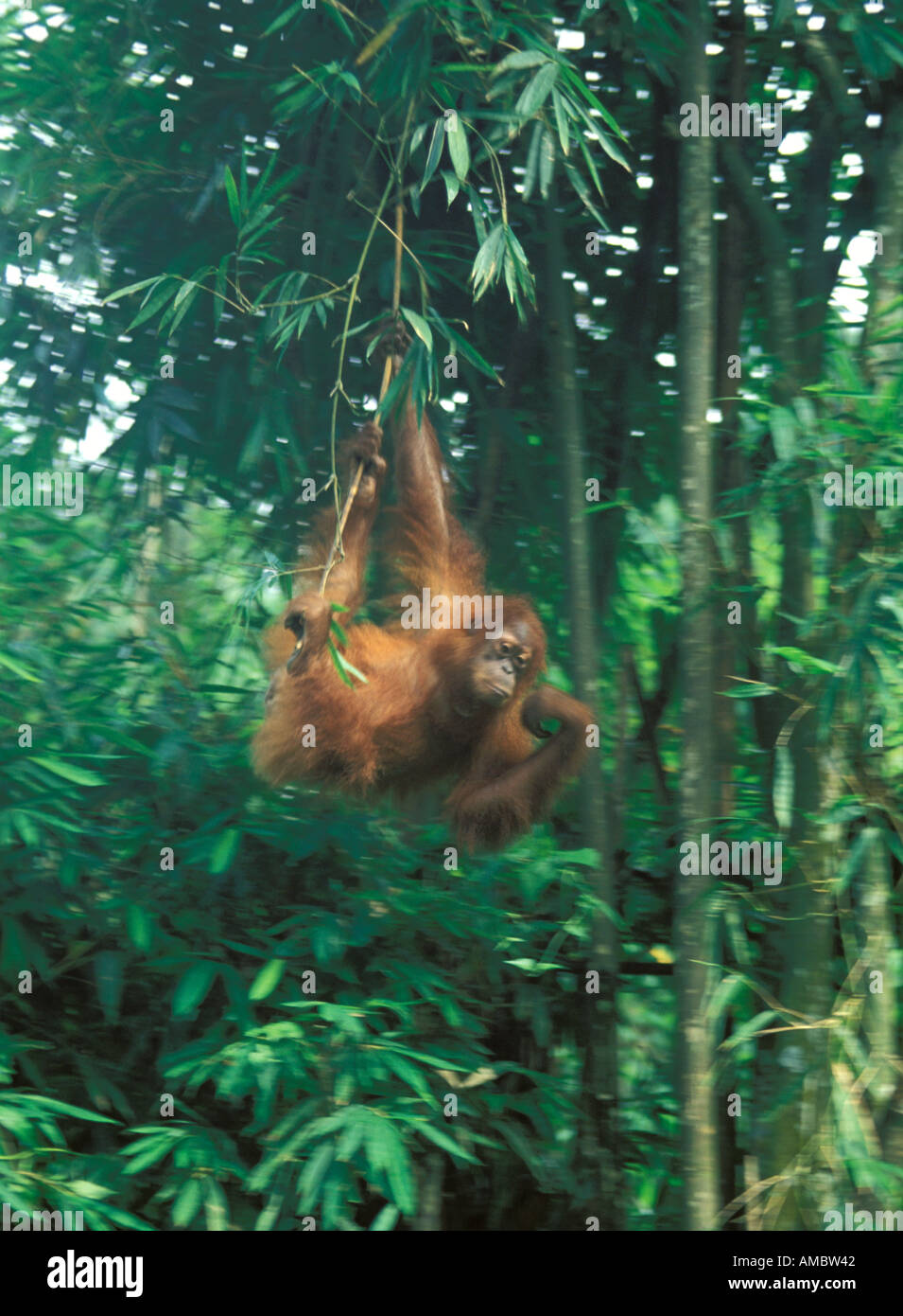 Sumatra an orangutan in the Bukit Lawang sanctuary Stock Photo