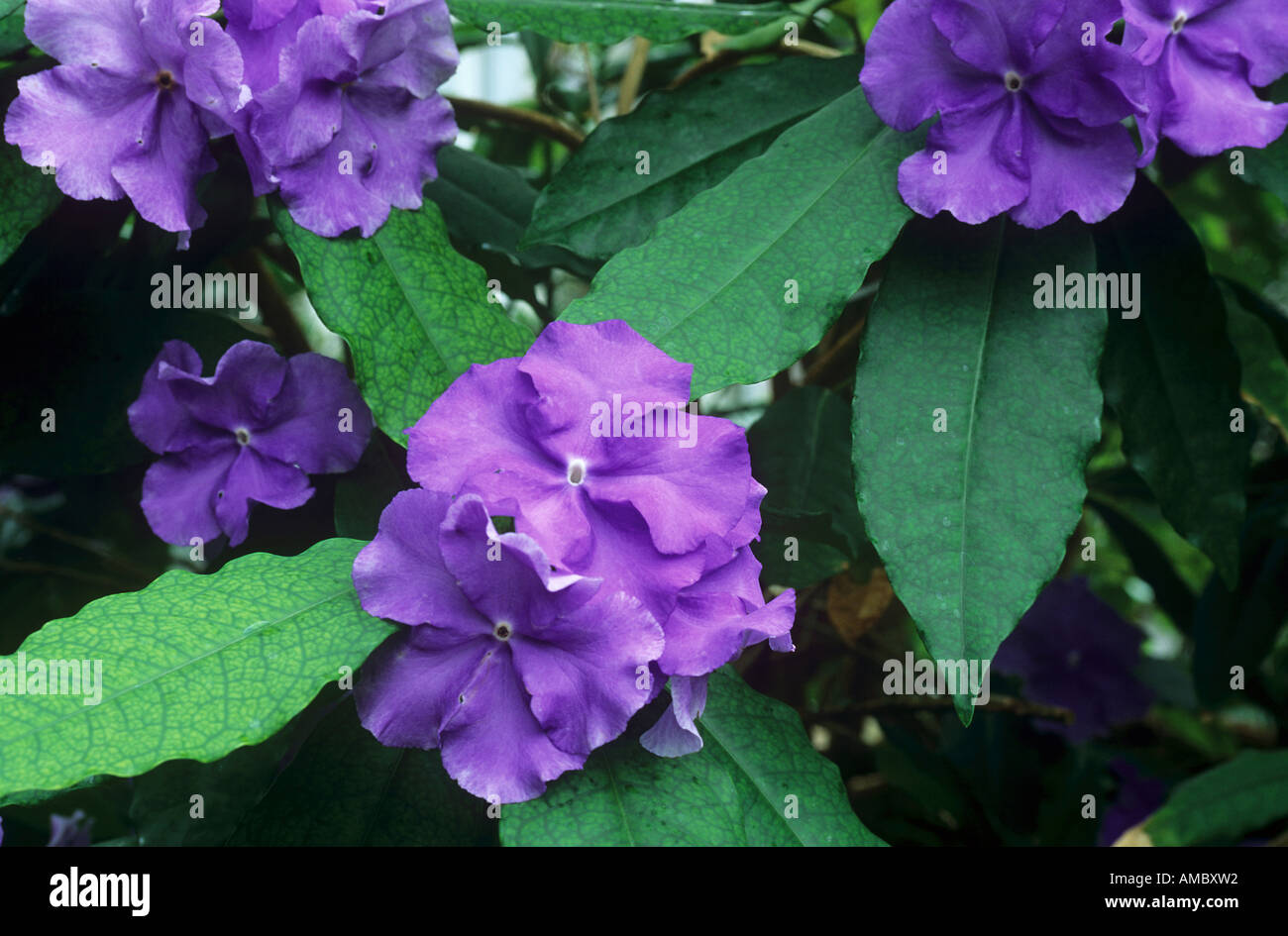 Yesterday Today and Tomorrow / Brunfelsia pauciflora - Stock Image