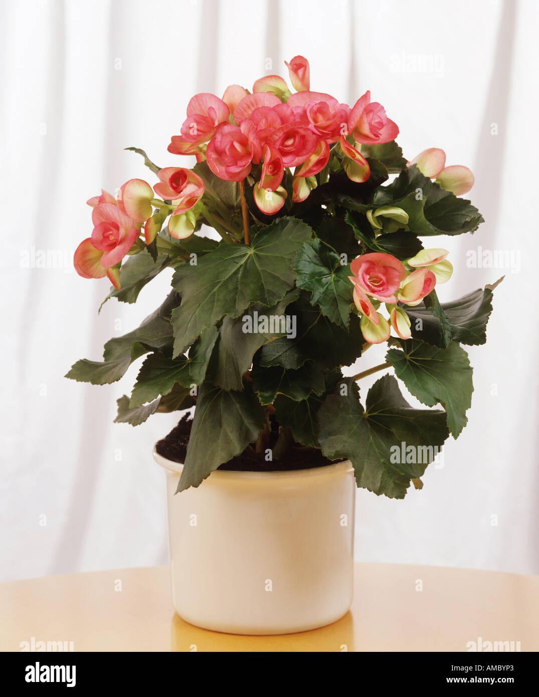 elatior begonia begonia elatior hybriden stock photo. Black Bedroom Furniture Sets. Home Design Ideas
