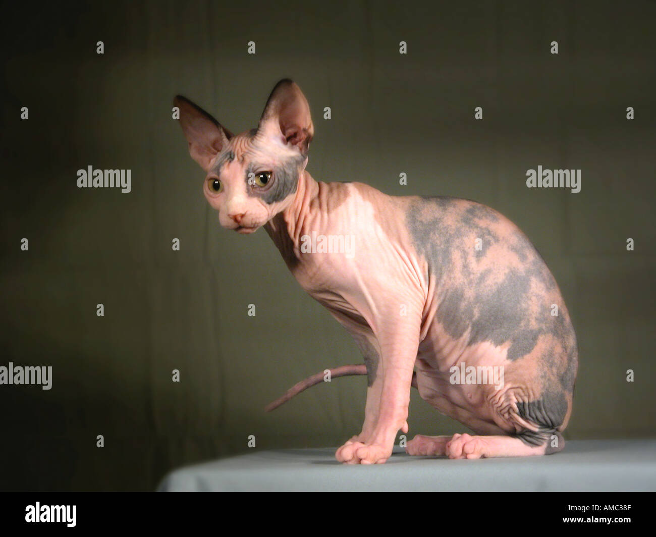 Sphinx Breed of Show Cat - Stock Image