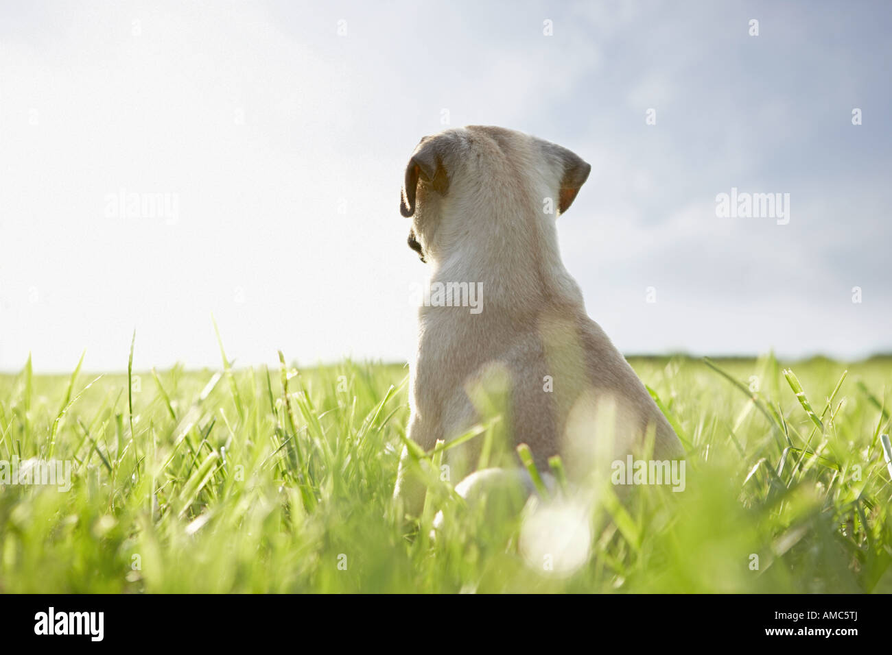 pug dog - puppy - sitting on meadow Stock Photo