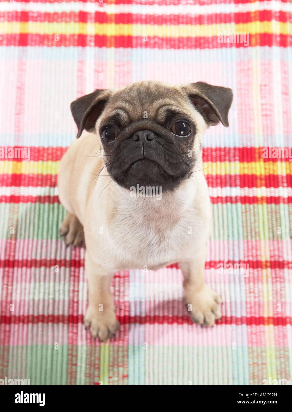 pug dog - puppy - sitting - Stock Image