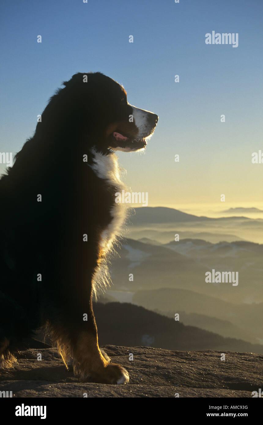 Bernese Mountain dog - sitting - Stock Image