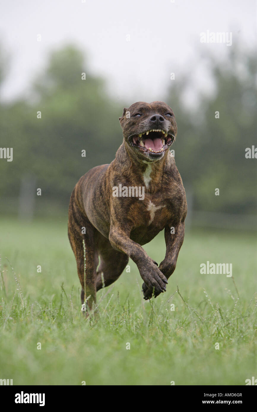 Mixed-breed dog (Pitbull x ?) running on meadow - Stock Image