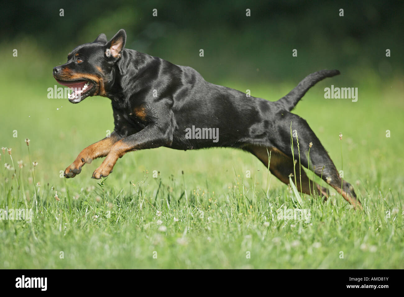 Rottweiler Dog Running On Meadow Stock Photo 15227990 Alamy