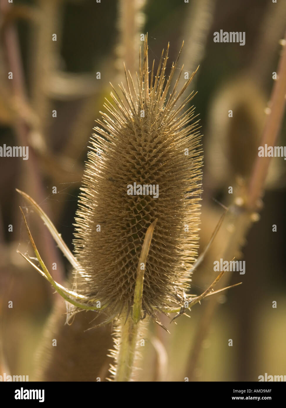 The spikey flower head of the common teasel. The seed head of teasel is used to raise the nap on woollen cloth - Stock Image