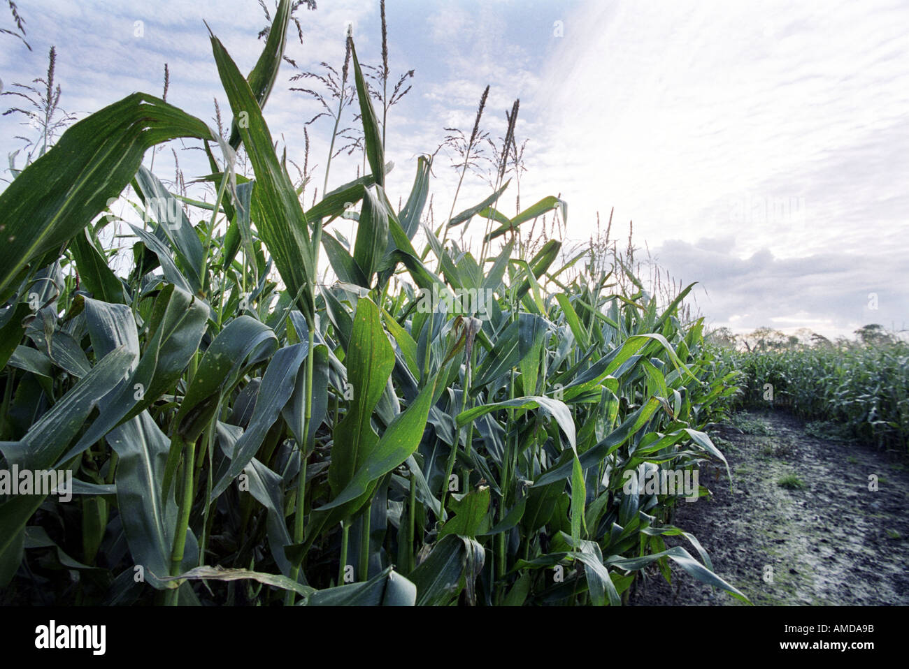 Genetically modified maize growing in a field in Shropshire in the UK - Stock Image