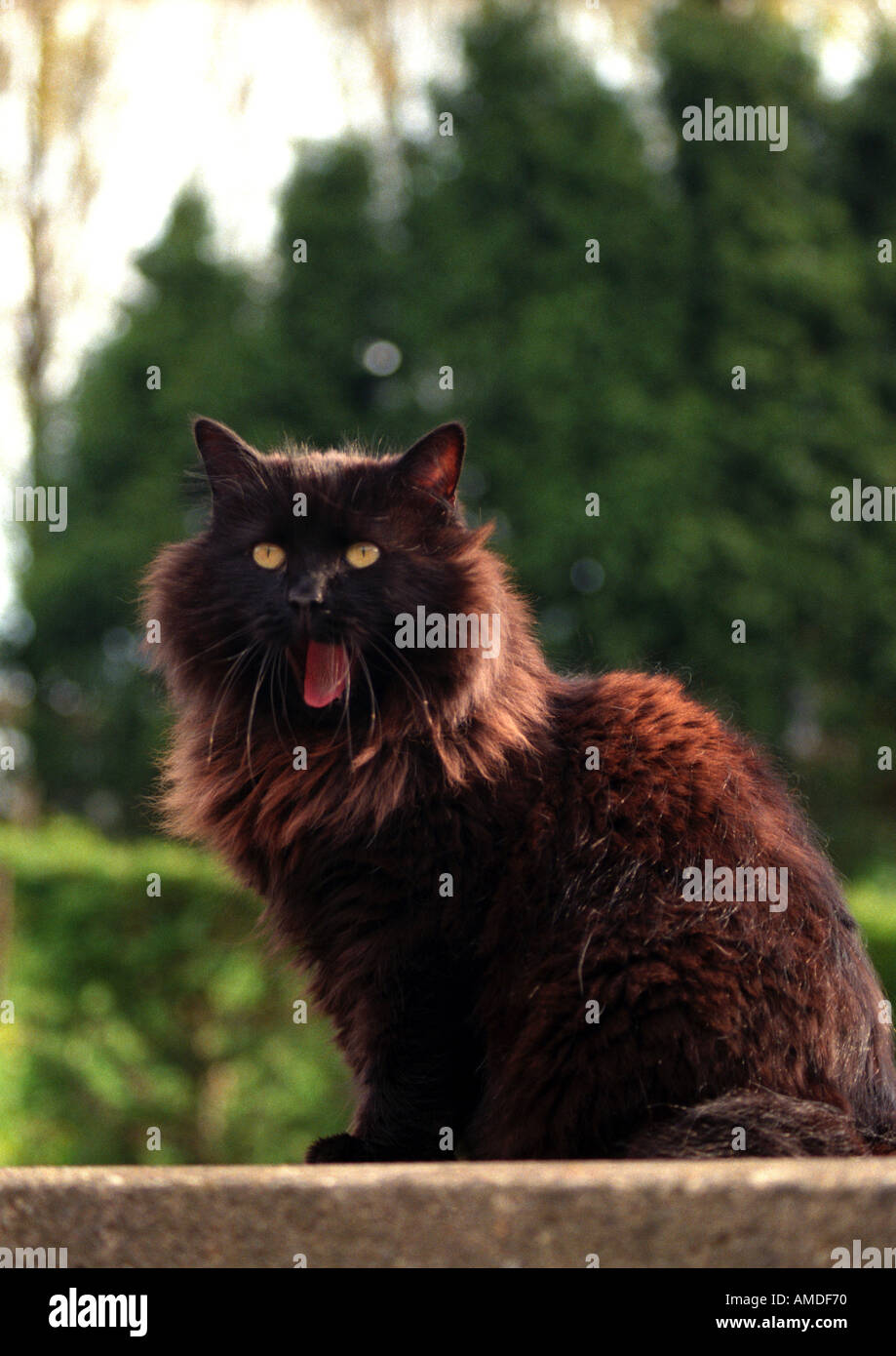A Fluffy Black Cat Sat On A Wall Yawning Stock Photo 1367919 Alamy