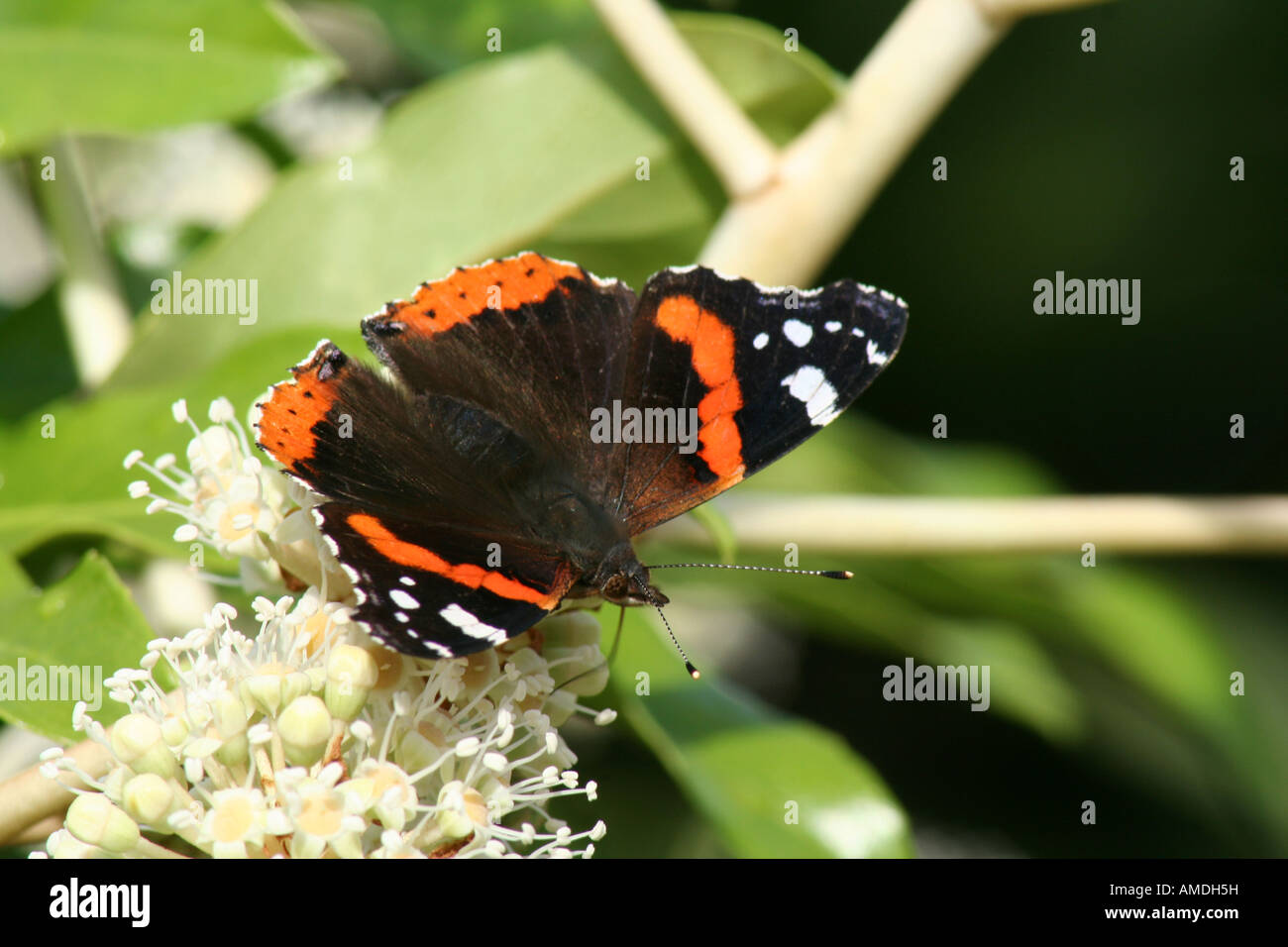Red Admiral on Fatsia Bloom Stock Photo