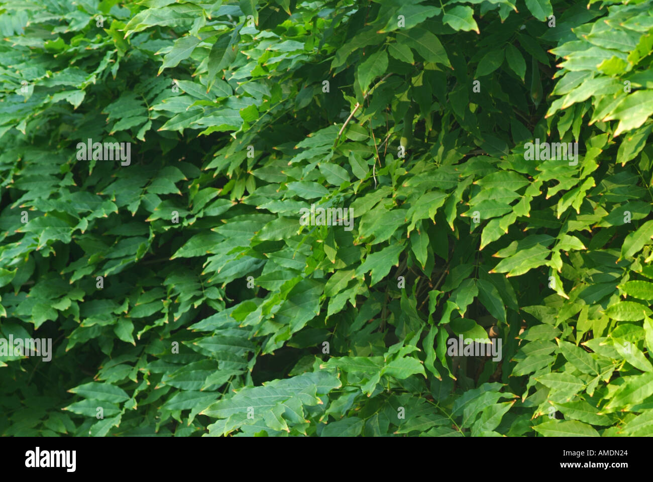 Wisteria Vine Leaves Stock Photo 4972835 Alamy