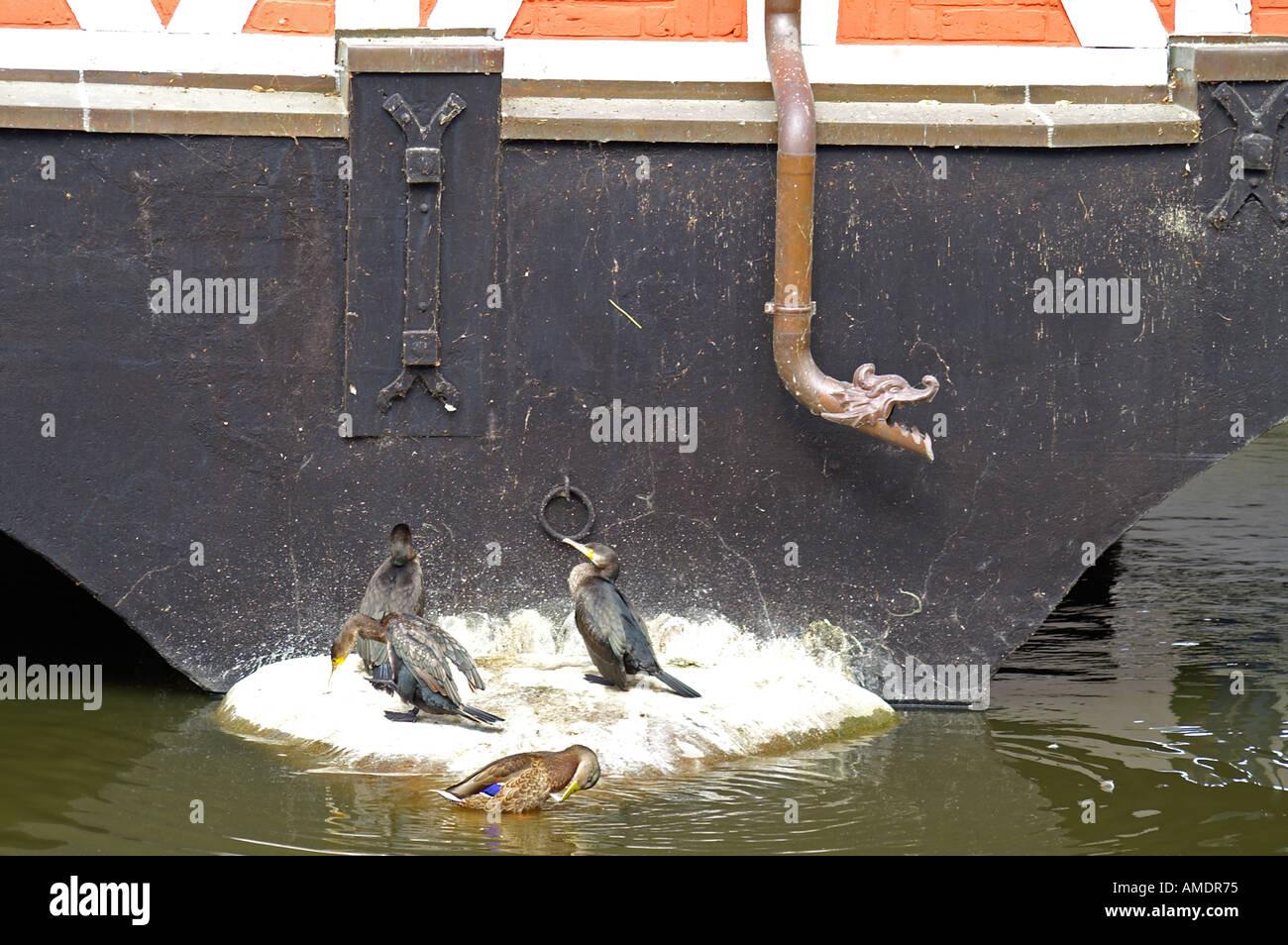 Kormorane Ente Cormorant duck - Stock Image