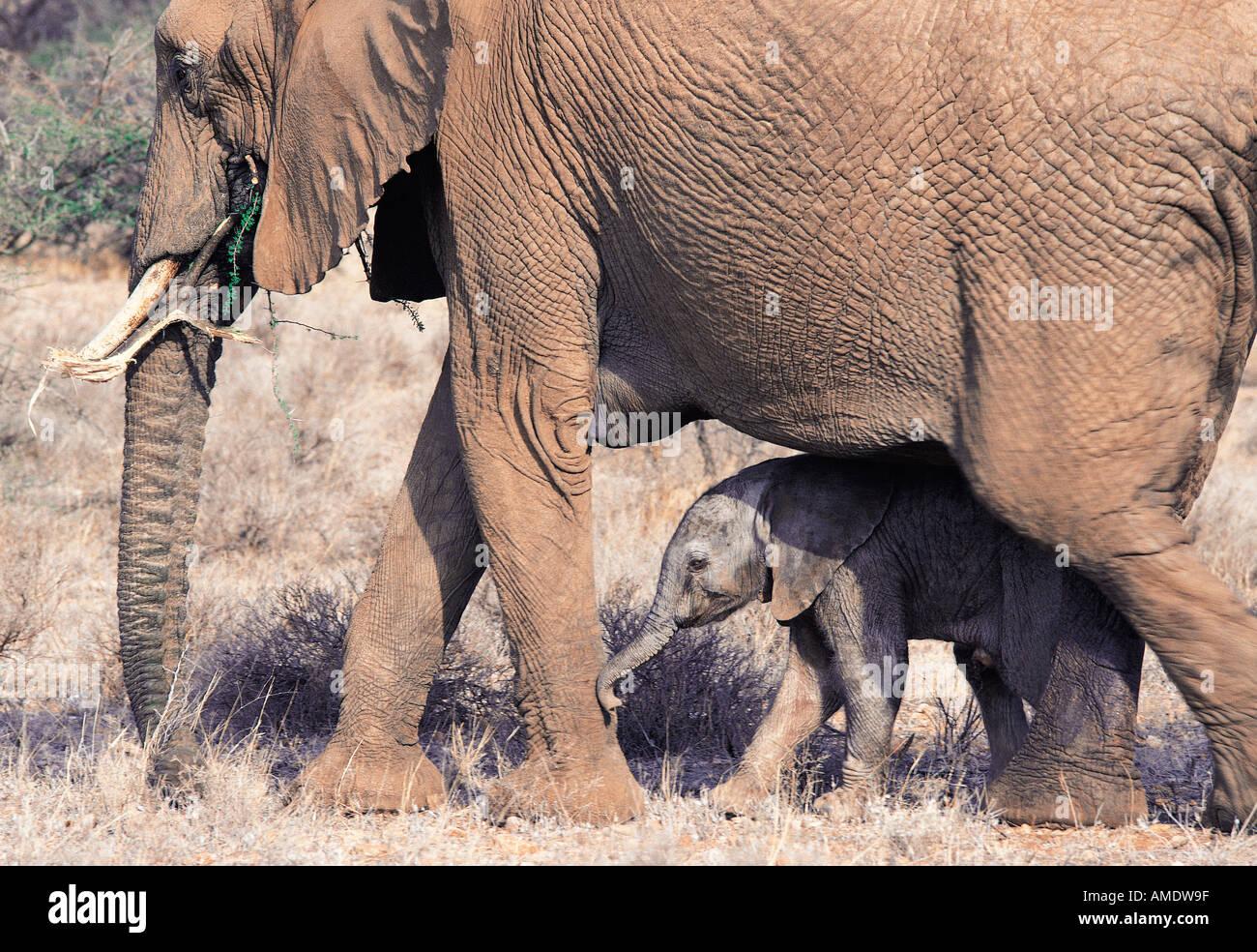 Female elephant sheltering tiny baby between her legs Samburu National Reserve Kenya East Africa - Stock Image