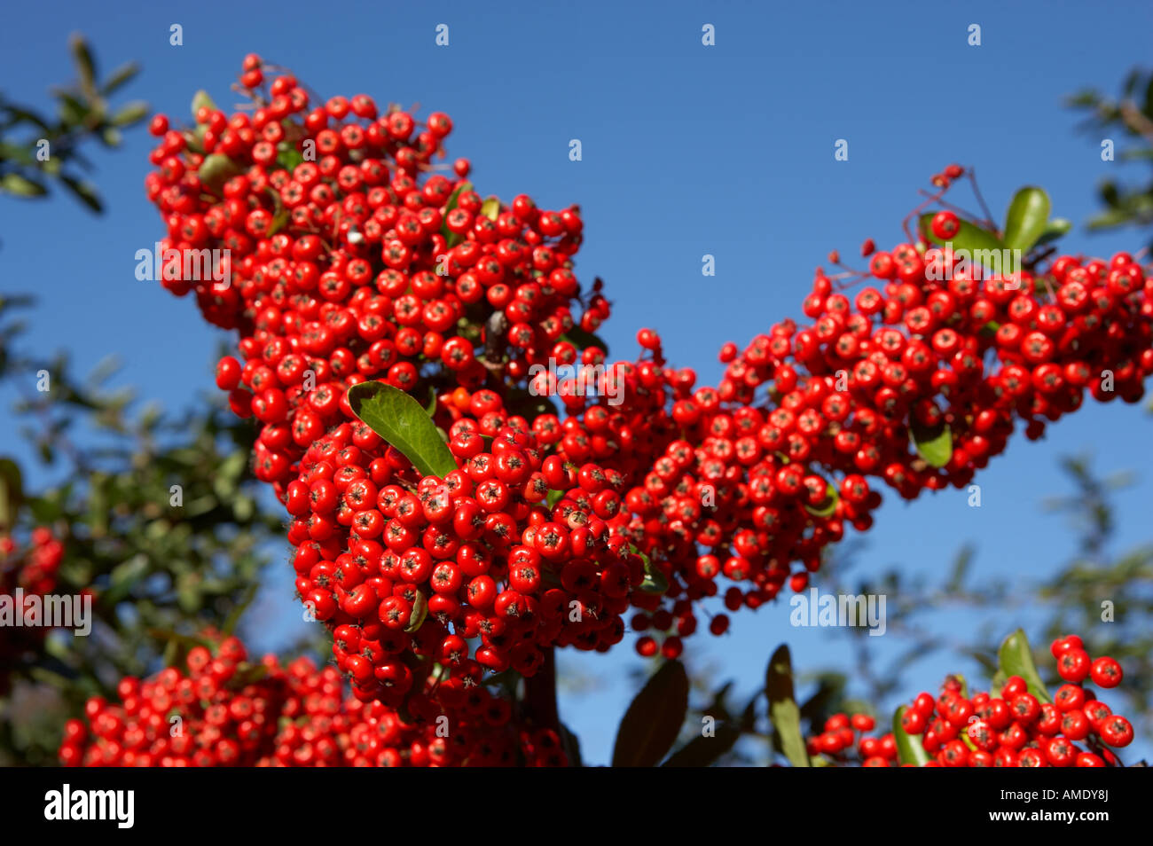 RED BERRIES ON PYRACANTHA BUSH - Stock Image