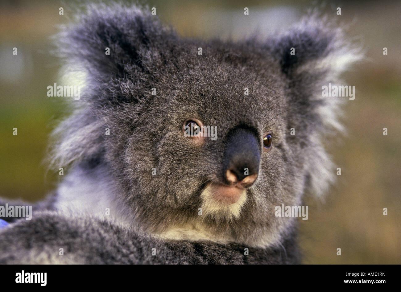 Koala, Australia - Stock Image