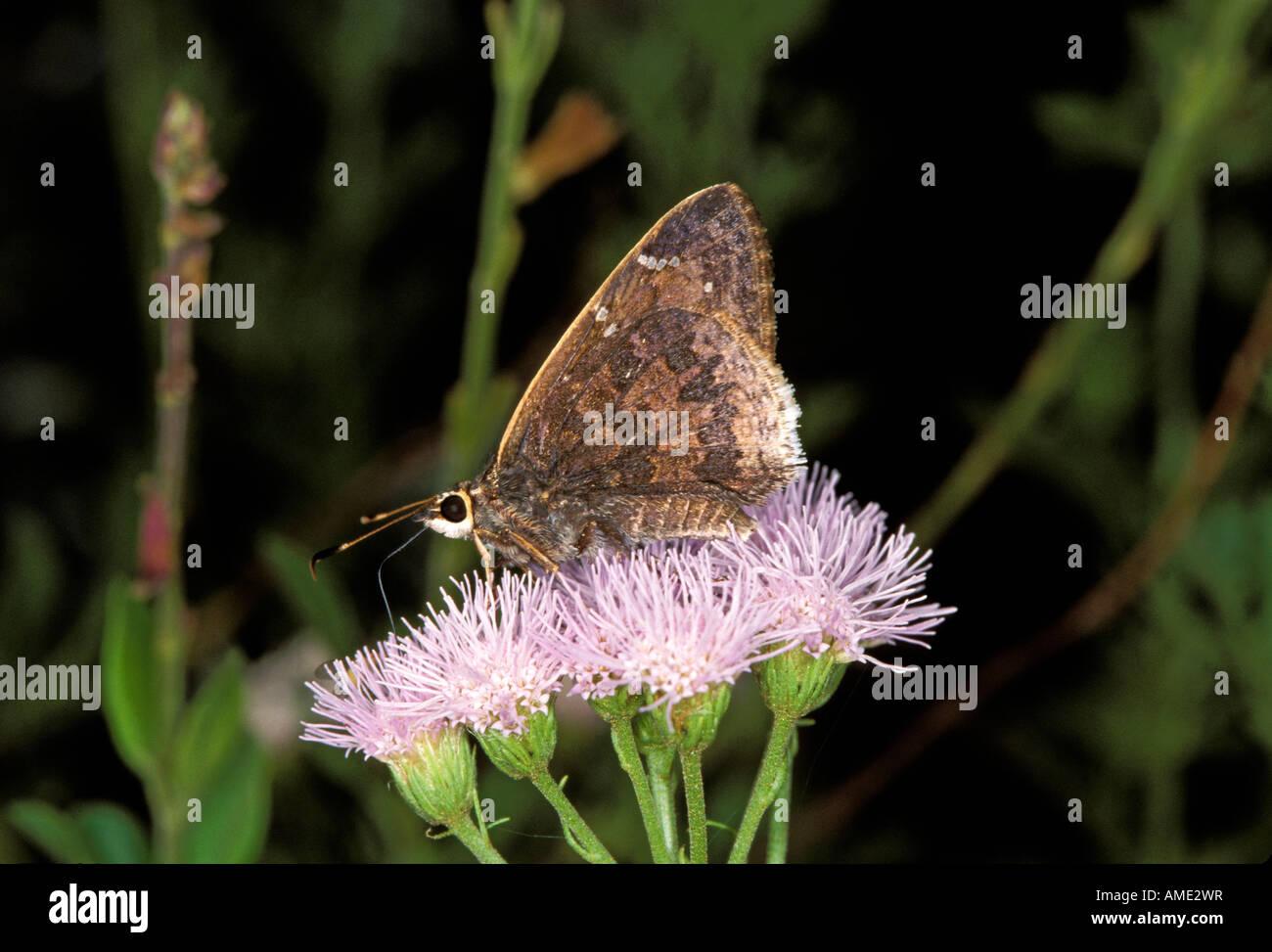 Sưu tập Bộ cánh vẩy 2 - Page 38 Gold-costa-skipper-cogia-caicus-patagonia-harshaw-canyon-arizona-united-AME2WR