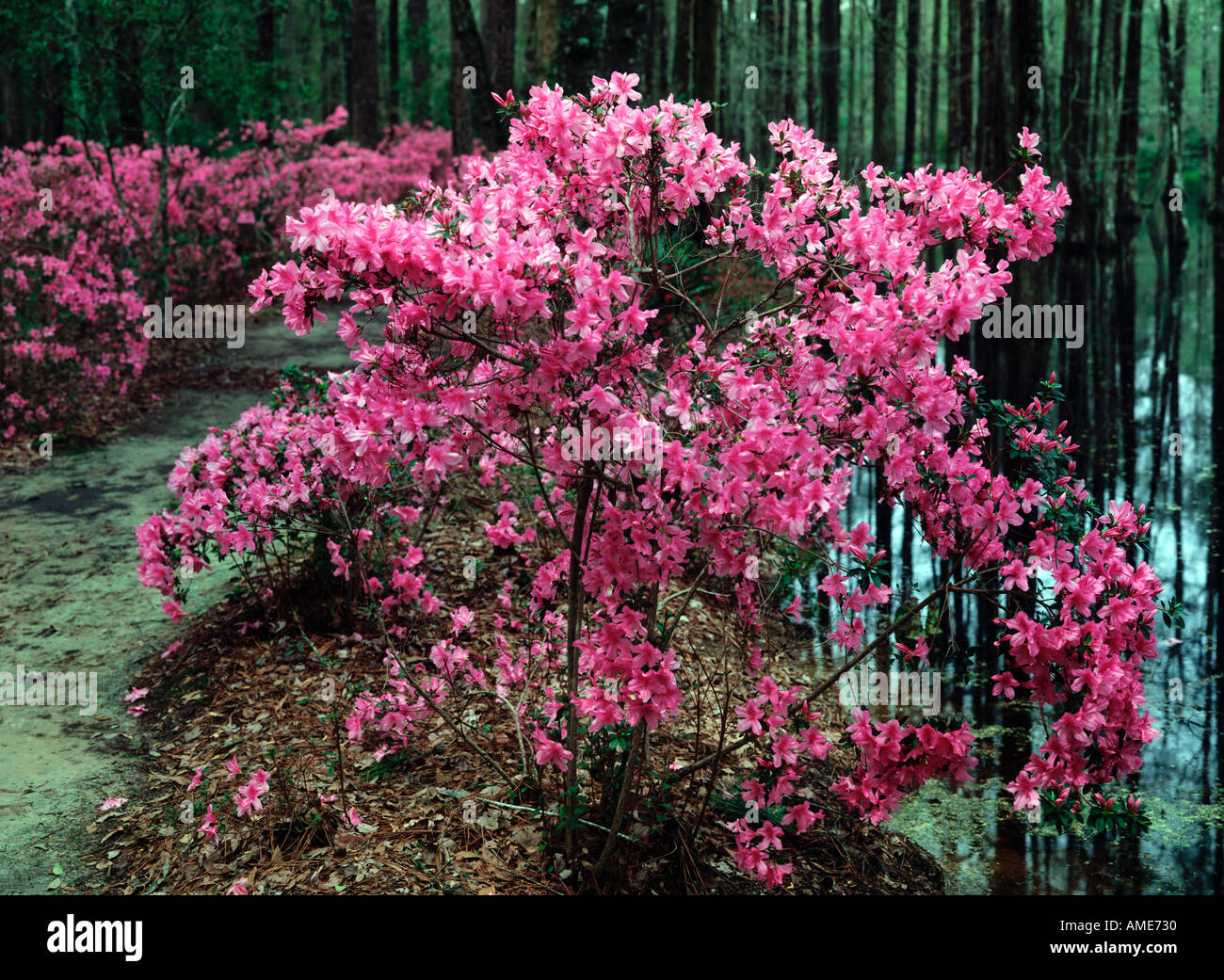 Cypress Gardens Near Charleston In South Carolina Featuring Spring