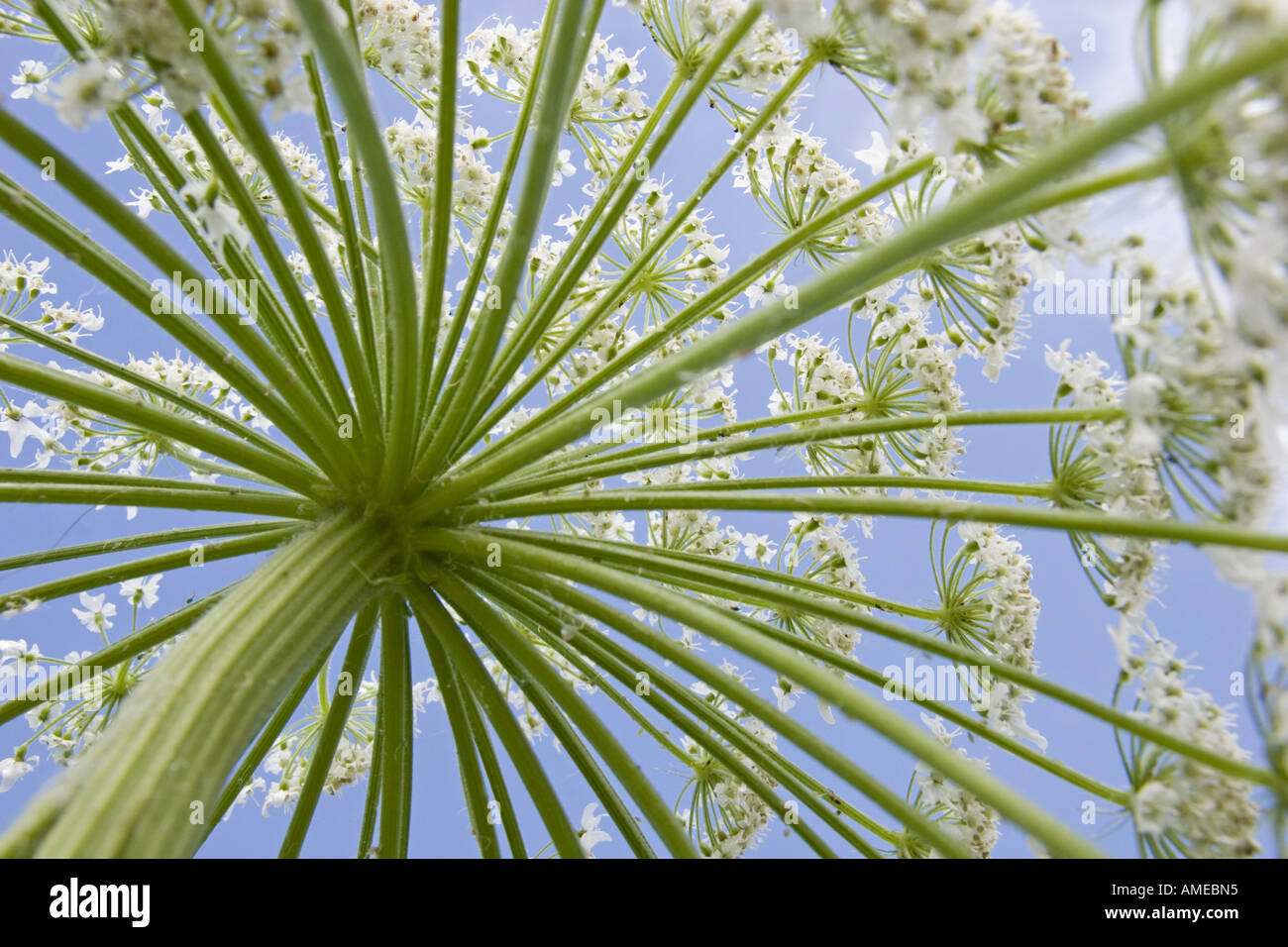 wild angelica (Angelica sylvestris), view from below on an umble, Germany, Baden-Wuerttemberg, Ortenau - Stock Image