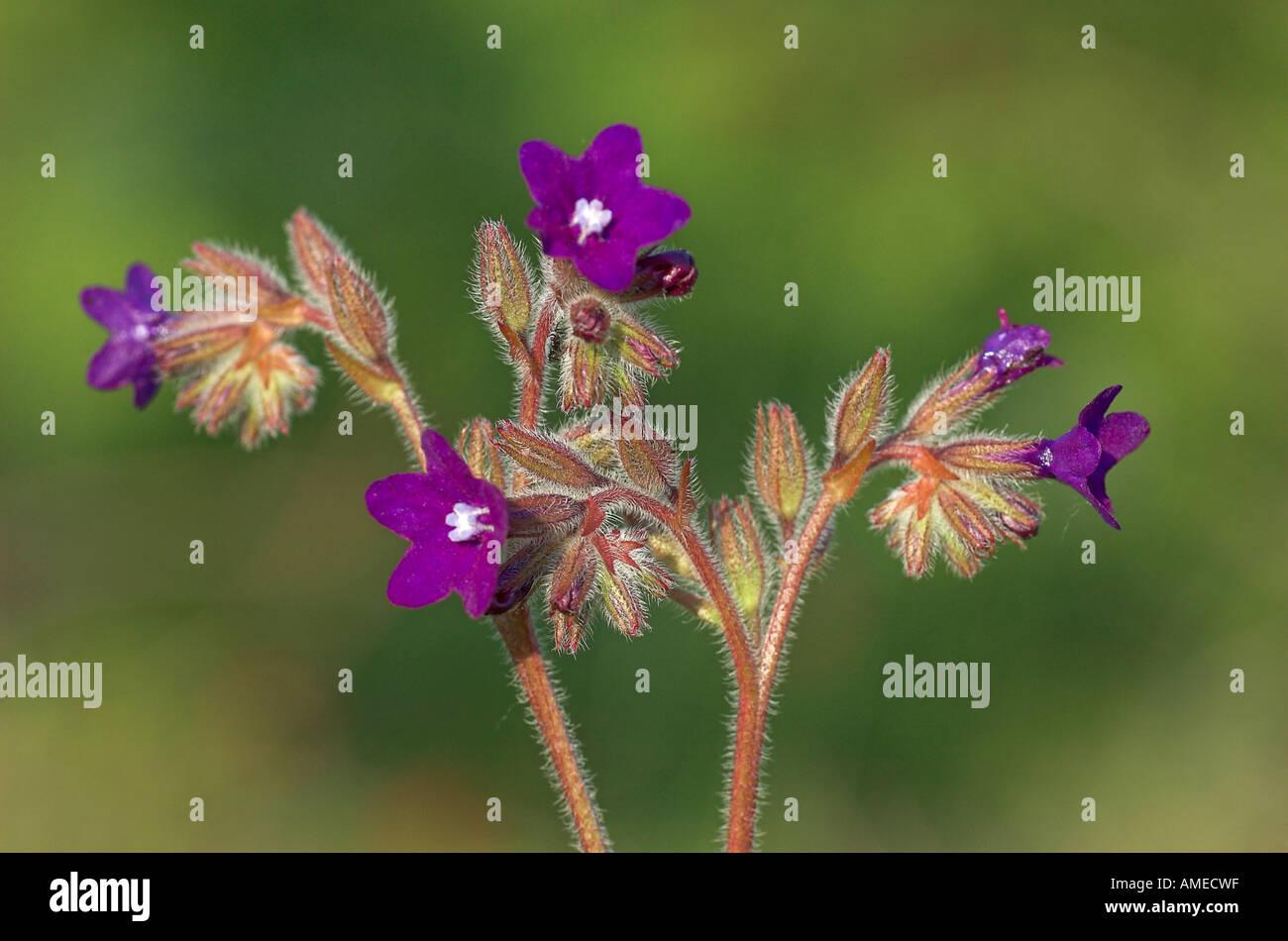 common bugloss, common alkanet (Anchusa officinalis), inflorescences, Bulgaria, Suedost-Bulgarien, Kresna - Stock Image