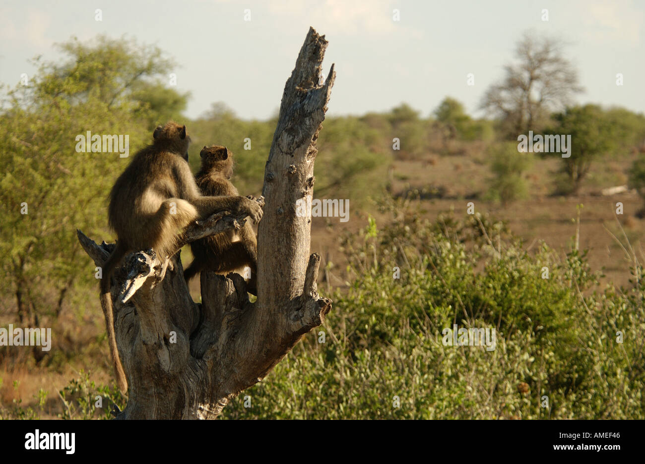 Baboons Africa - Stock Image