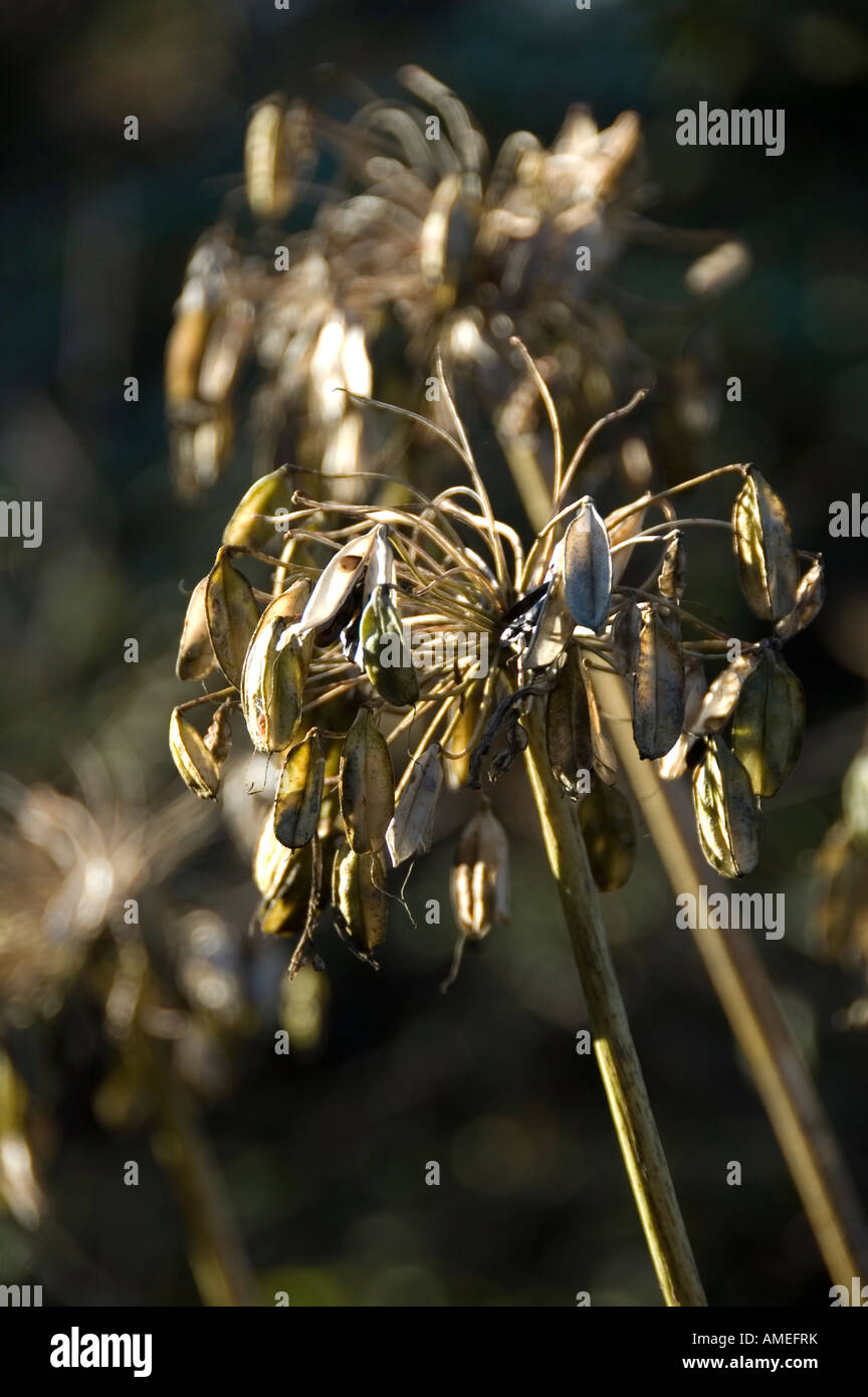 Agapanthus seedheads in Autumn - Stock Image