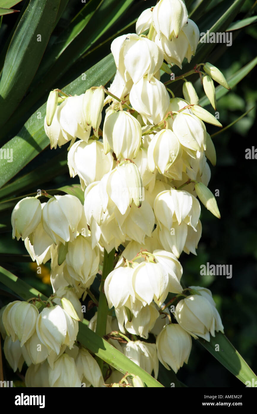 Yucca Plant Spikes White Flowers Stock Photos Yucca Plant Spikes