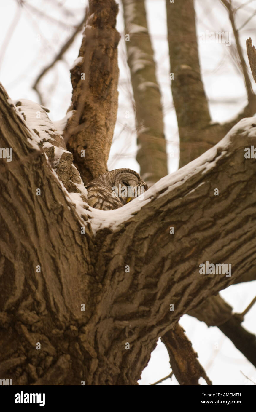 A BARRED OWL SITS IN A HOLLOWED OUT TREE Stock Photo