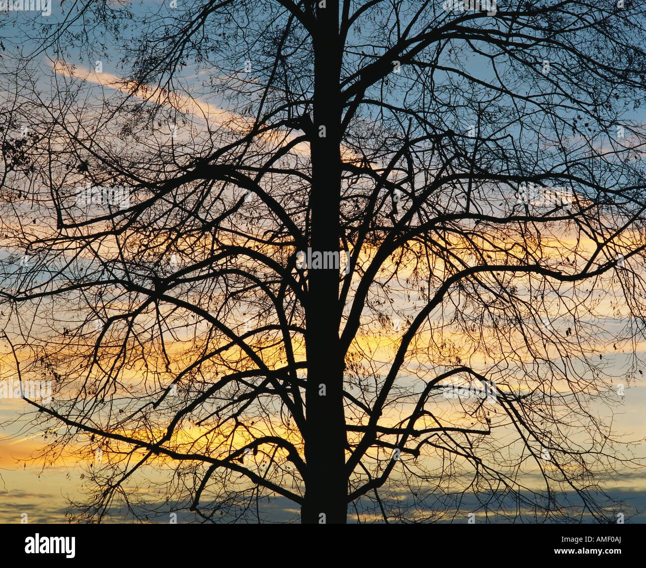 November 2000 Switzerland Zofingen AG Lime tree dusk - Stock Image