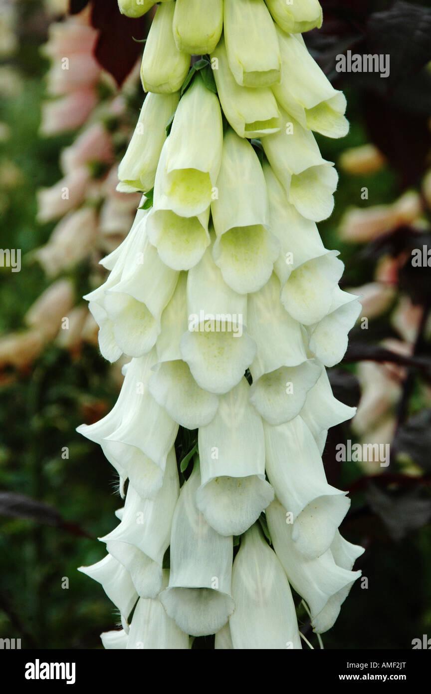 Single stem of white foxglove flowers Digitalis purpurea f Alba - Stock Image