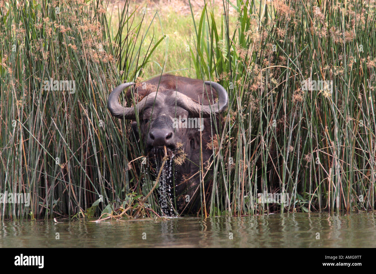 buffalo at waters edge, Syncerus caffer - Stock Image