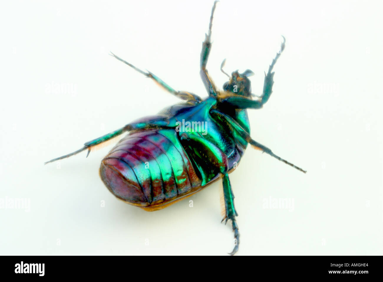 Fig Beetle Stock Photos & Fig Beetle Stock Images - Alamy