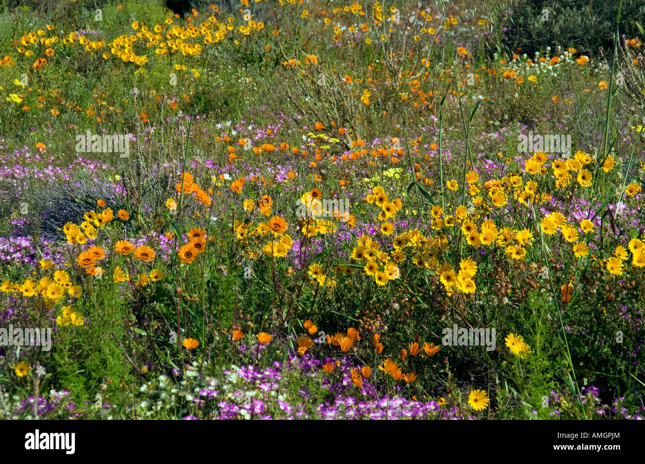Namaqualand spring wildflowers near Kamieskroon Northern Cape South Africa - Stock Image