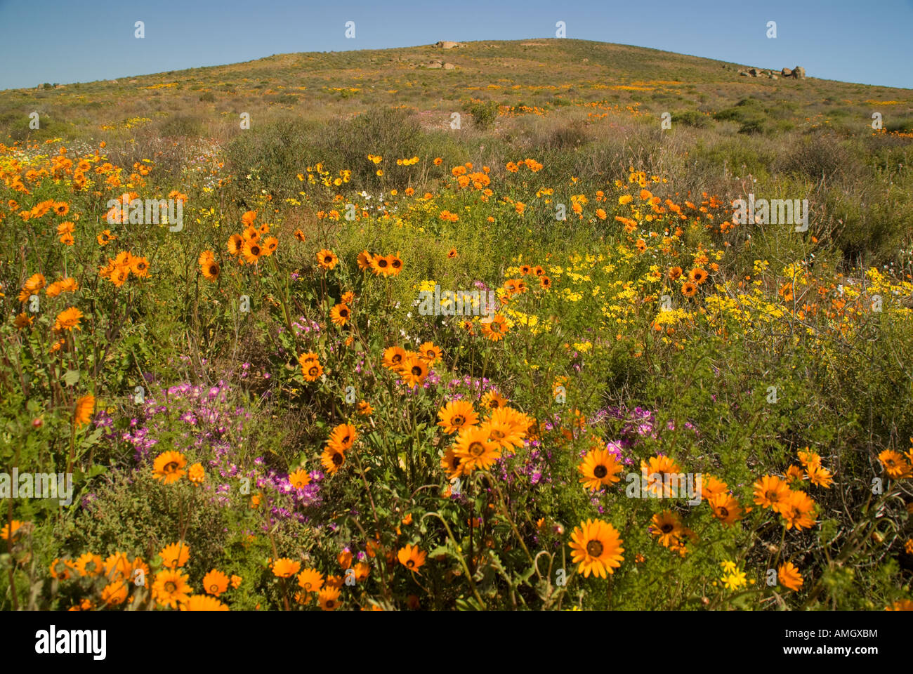 Namaqualand spring wildflowers near Kamieskroon, Northern Cape, South Africa - Stock Image