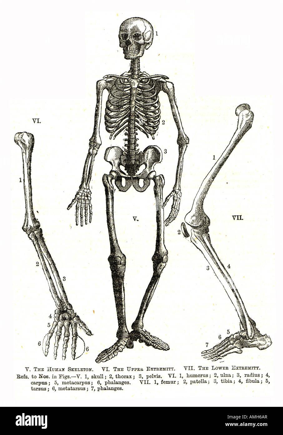 Skeleton human anatomy upper lower extremity skull thorax pelvis ...