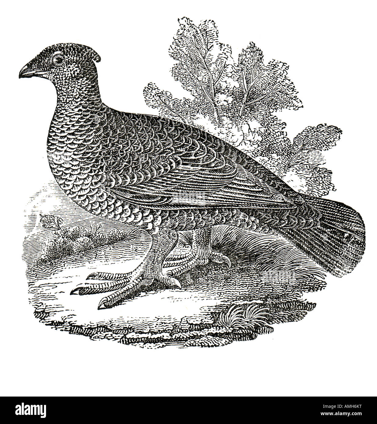 Blue Dusky Grouse Dendragapus obscurus forest dwelling native to North America Rocky Mountain Sooty Grouse fuliginosus Stock Photo