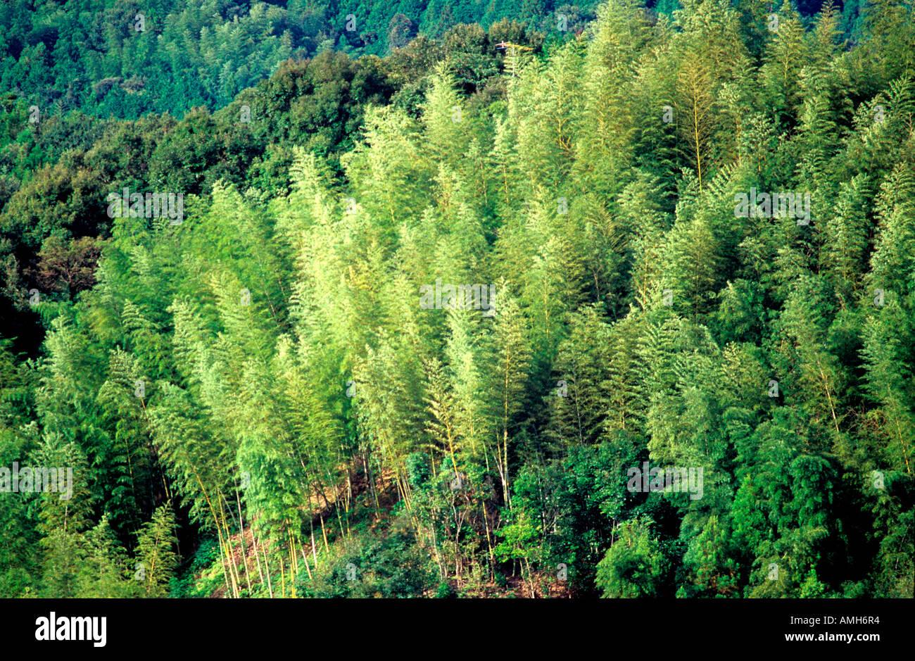 Japan Shikoku Tokushima Bambuswald Im Tsurugi Nationalpark Stock