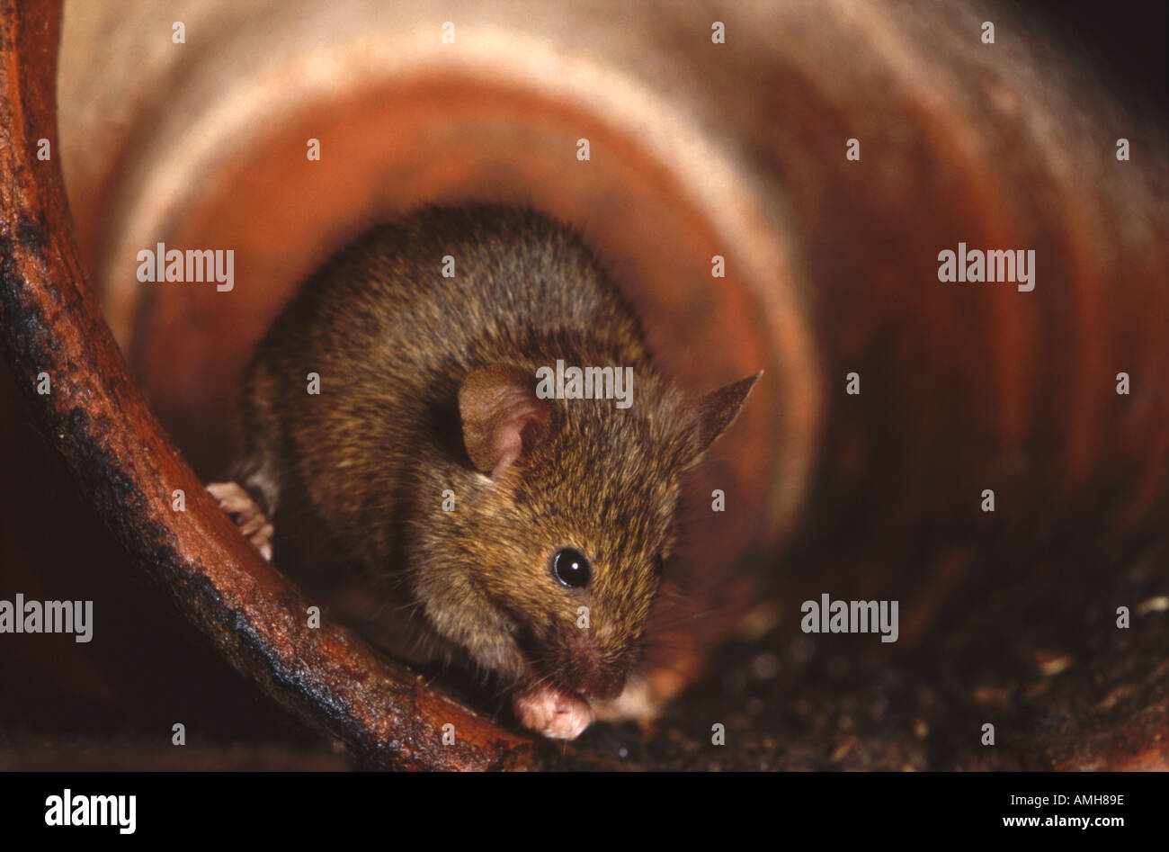 House mouse in terracotta pot Mus musculus - Stock Image