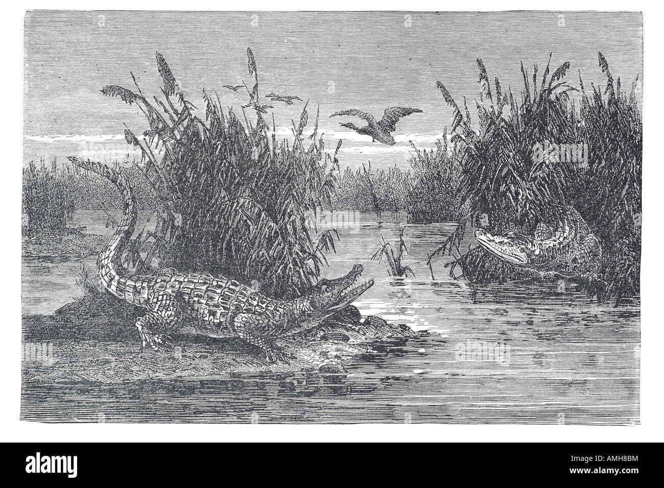 sarawak crocodile Crocodylidae Crocodylinae Crocodilia alligators caimans Alligatoridae gharials Gavialidae Crocodylomorpha - Stock Image