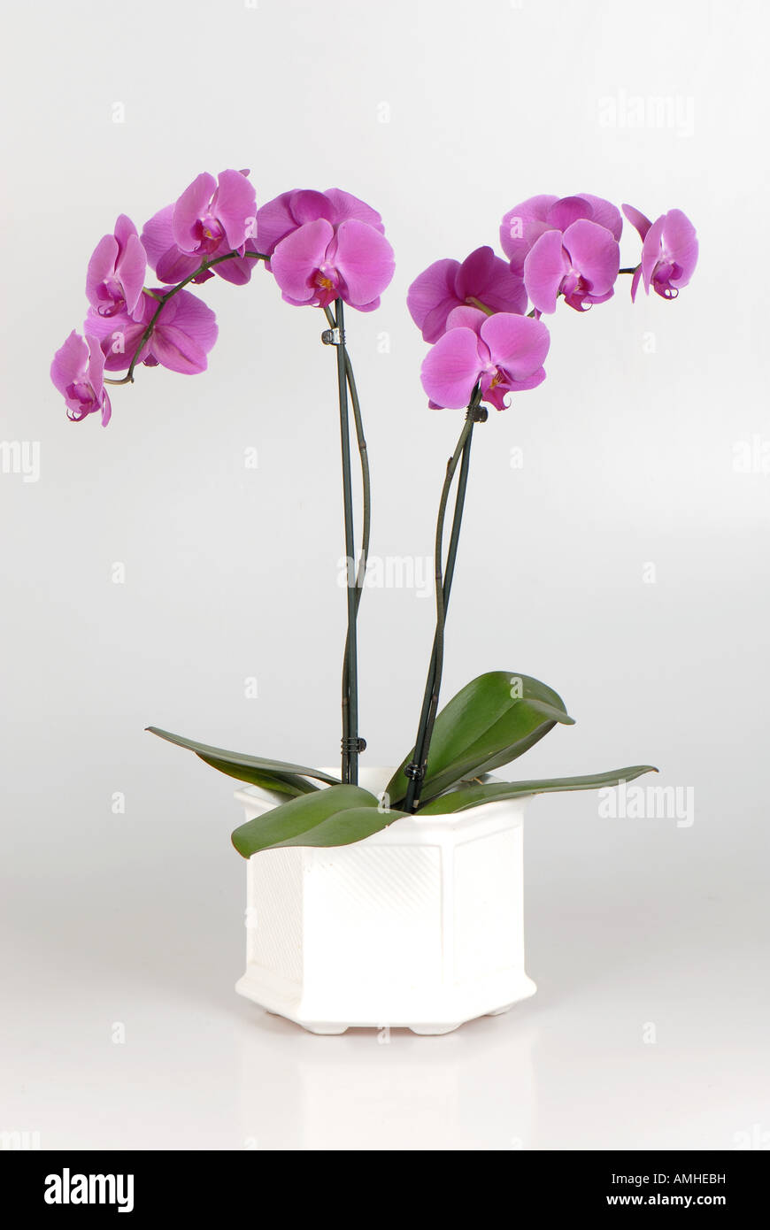 Orchid flowering plant Phalaenopsis of house ornamental pot plant - Stock Image