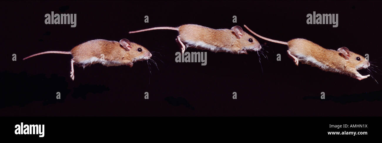 Long tailed field mouse Apodemus sylvaticus Adult Adults Alone Count Counting Enumeration Enumerations Field mouse - Stock Image