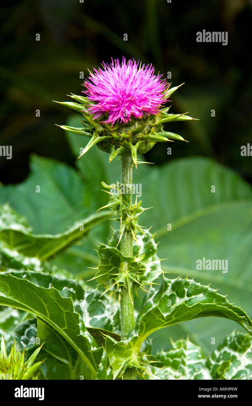 The large purple flower of the Milk Thistle or Blessed Thistle Silybum marianum blooming in the English Gardens - Stock Image
