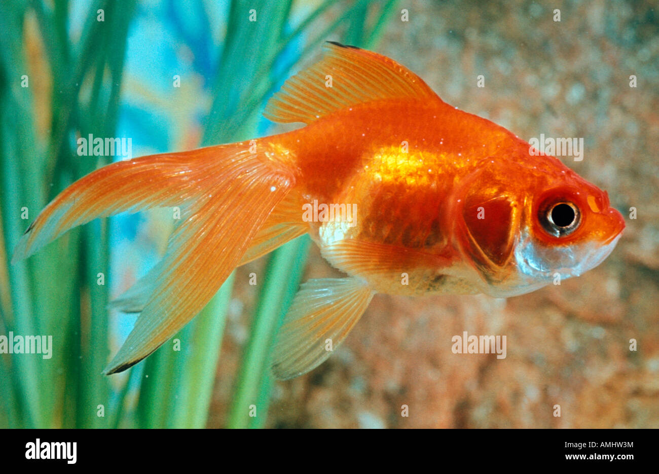 poisson rouge japonais carassius sp colour alone animal animals stock photo 15271351 alamy. Black Bedroom Furniture Sets. Home Design Ideas