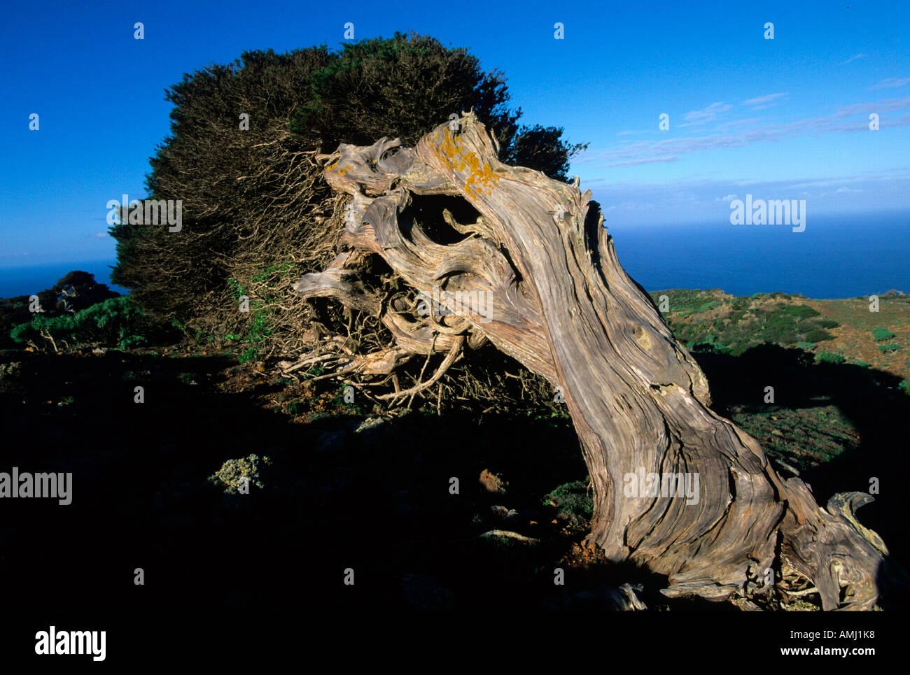 Spanien, El Hierro, El Sabinar, Wacholderbaum Stock Photo