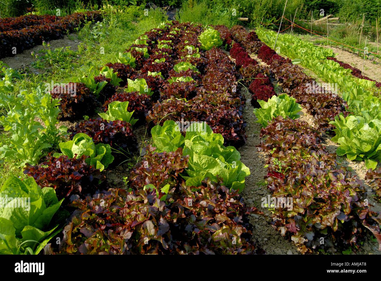 Rows of Lettuce in Vegetable Garden Centre for Alternative ...