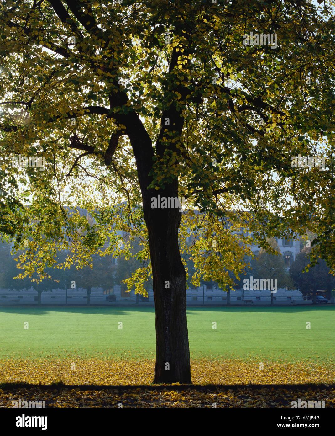 Switzerland Zofingen AG Tree in park - Stock Image