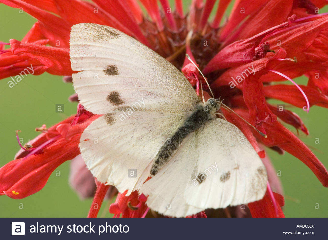Cabbage White butterfly Pieris rapae on Bee Balm blossom Stock Photo