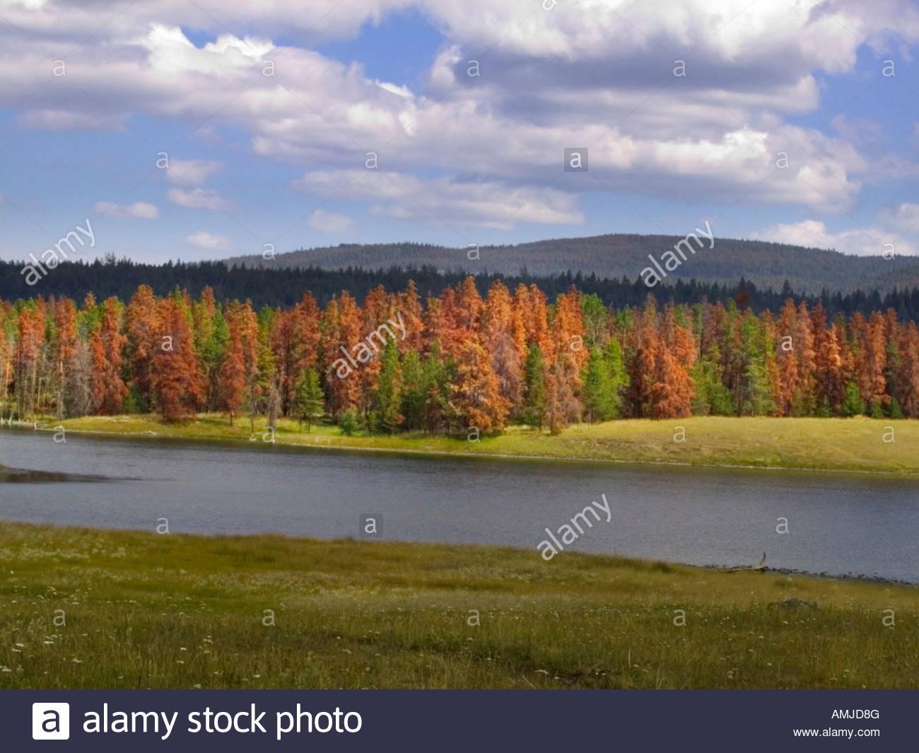 Pine trees killed by Mountain Pine Beetle Dendroctonus ponderosae - Stock Image