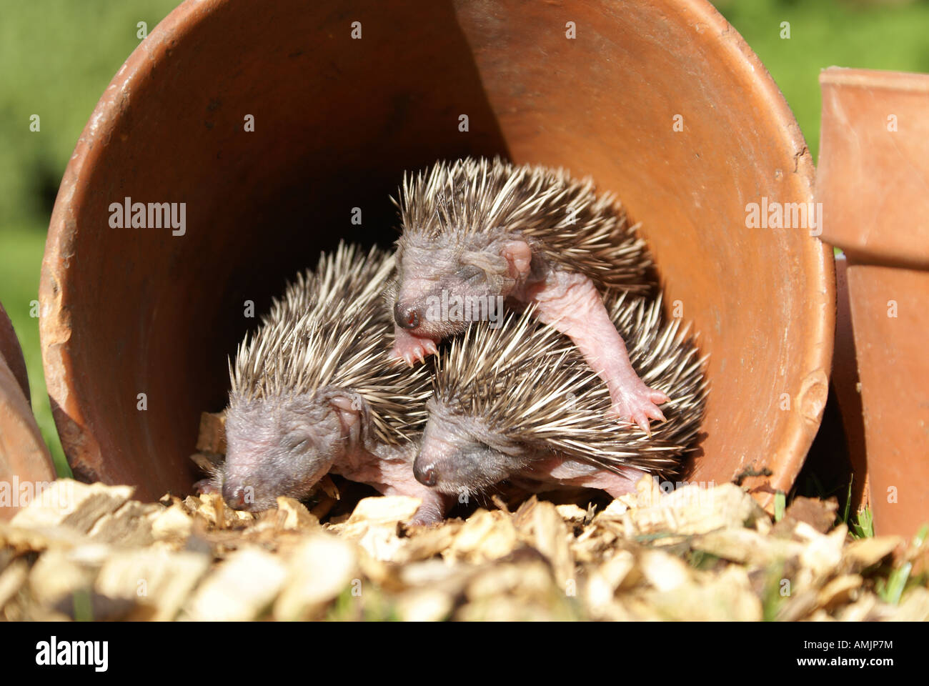 Baby Hedgehogs in flower pot - Stock Image