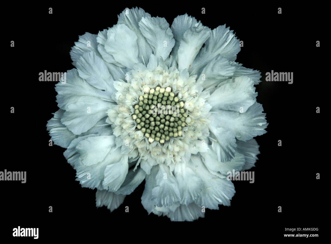 Close up of a pale blue scabious flower on a black background - Stock Image