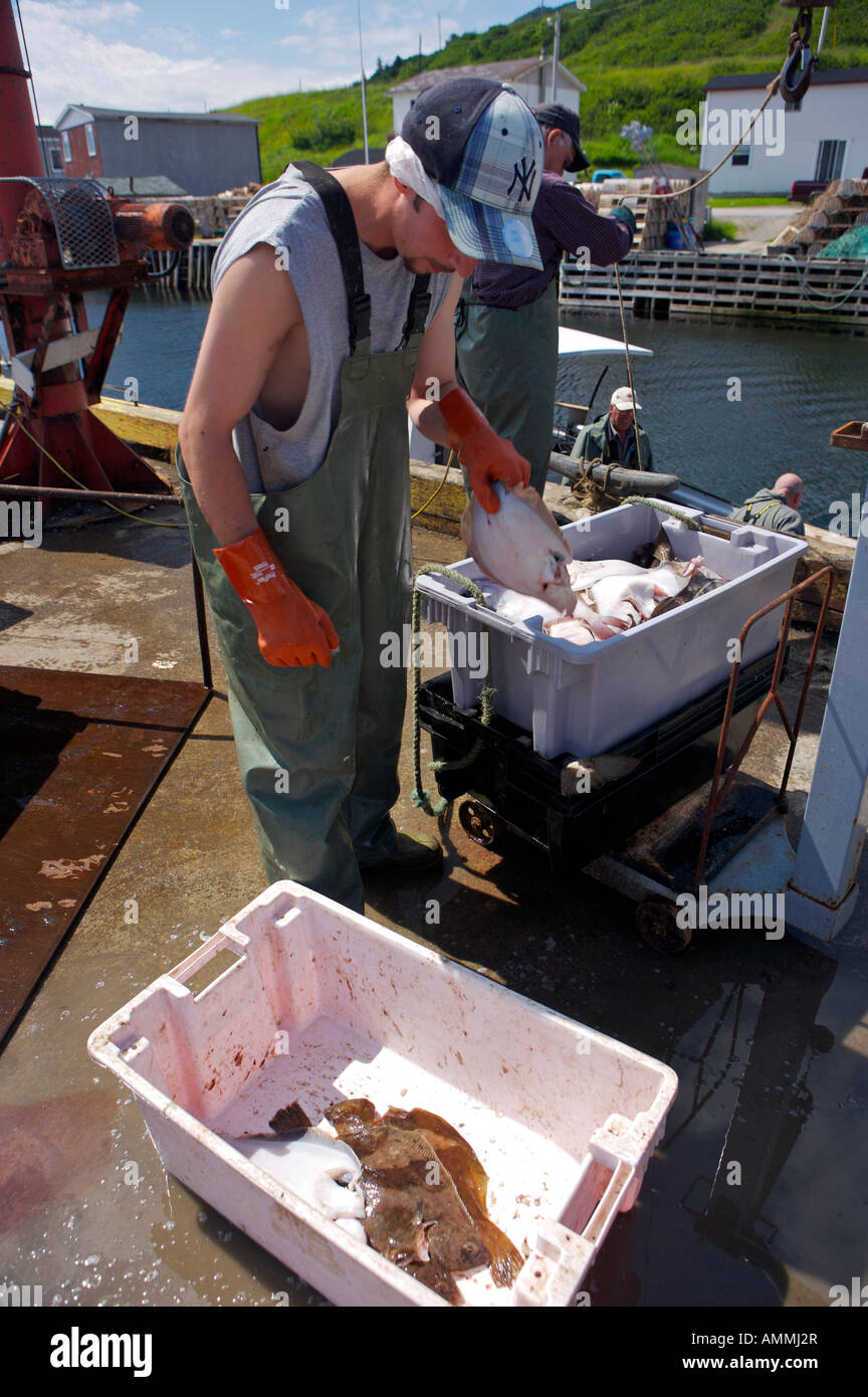 Separating a fresh catch of Cod Fish and flounder in the harbour at Trout River, Gros Morne National Park, Newfoundland, - Stock Image