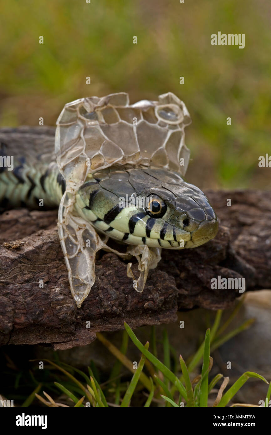 Molting snake